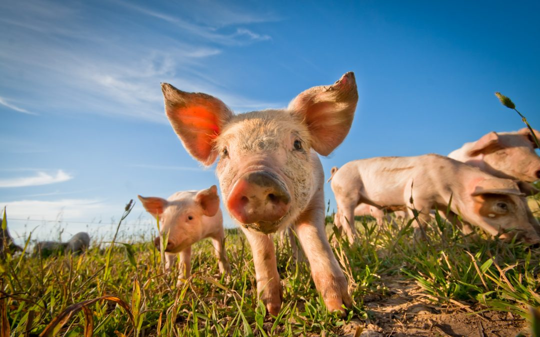 USDA Announced BIG changes to Livestock Gross Margin for Cattle and Swine